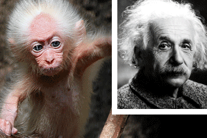 Monkey That Looks Likes Albert Einstein Found In Malaysia