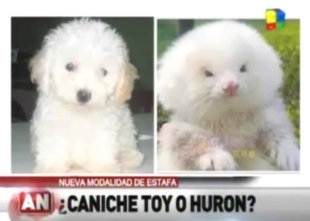Spot The Difference: Poodle Or Ferret?